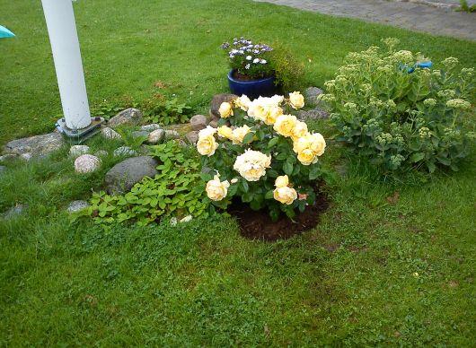 Rosenbuske i trädgården